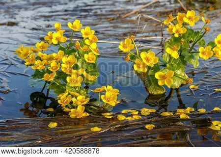 Caltha Palustris, Known As Marsh Marigold. Yellow Flowers Grow In Water.