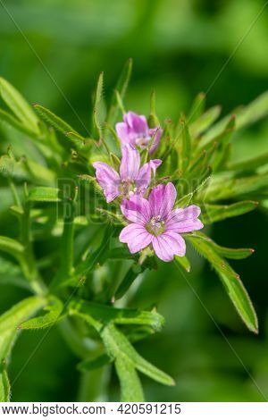 Macro Shot Of Long Stalked Geranium (geranium Columbinum) Flowers In Bloom