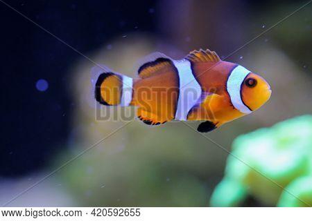 Portrait Of Anemonefish In A Marine Aquarium.