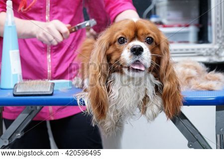 Female Groomer Brushes Out A Thoroughbred Cavalier King Charles Spaniel Studio For Animals.