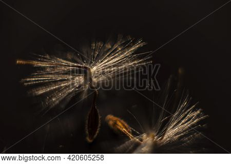 Brightly Lit Pelargonium Seeds, With Fluffy Hairs And A Spiral Body, Are Reflected In Black Perspex.