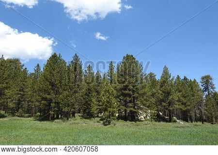 A Beautiful Green Meadow Surrounded By Pine Trees, On Mount Pinos, In The Los Padres National Forest