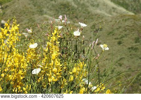 Beautiful White Morning Glories And Yellow Scotch Broom, Growing Wild In The Santa Monica Mountains,