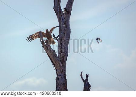 African Harrier-hawk Juvenile In Flight Chasing Starling In Kruger National Park, South Africa ; Spe