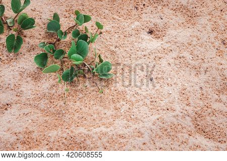 Beach Morning Glory Or Ipomoea Pes-caprae On The Sand At The Beach. Phhuket Thailand