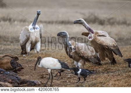 Cape Vulture,white Backed Vulture And African Pied Crow Scavenging A Carcass In Vulpro Rehabilitatio