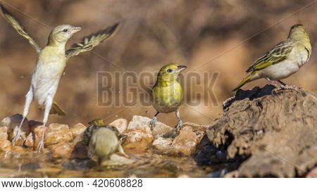 Lesser Masked And Village Weaver Standing At Waterhole In Waterhole In Kruger National Park, South A
