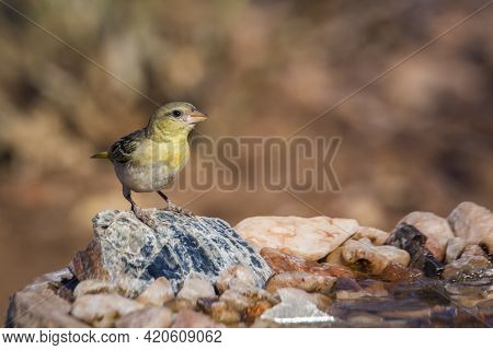 Village Weaver Standing Front View At Waterhole In Kruger National Park, South Africa ; Specie Ploce