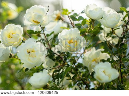 Blooming White Rose Bush Flowers Close Up. Selective Focus.
