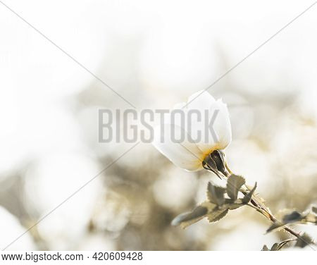 Abstract Monochrome Floral Image With One White Rose Flower On Blur Background With Copy Space.