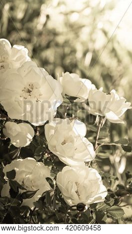 Monochrome Vertical Retro Image With Blooming White Rose Bush With Beautiful Flowers On Blur Backgro