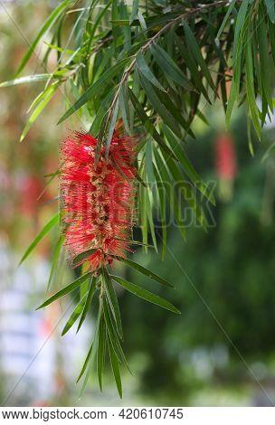 Spring Flowering Of Bottle Brush Tree Or Beautiful Stamen (lat. Callistemon)