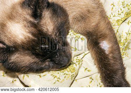 A Scarred Fighting Siamese Cat.siamese Street Cat.