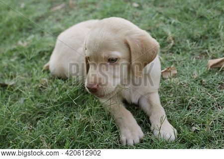 10 Week Old Labrador Puppy Sitting In A Home Grass. Cute Yellow Labrador Puppy.