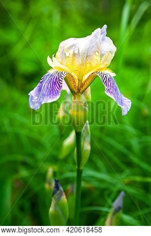 Iris Flower With Raindrops. Close-up Of A Blooming Iris Flower. Iris On A Background Of Green Grass.