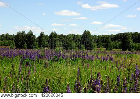 Lupin Spreads Flowers. Lupin Field. Colorful Bouquet Of Lupins On A Summer Flower Background. Blosso