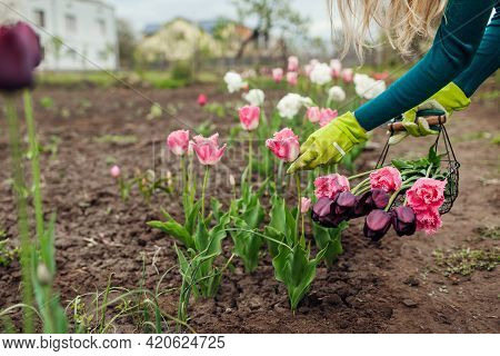 Gardener Gathers Pink Tulips In Spring Garden. Woman Cuts Flowers Off With Pruner Putting Them In Ba