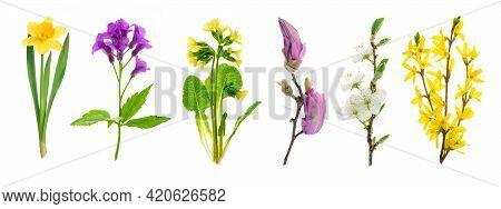 Set Of Spring Flowering Plants: Narcissus, Anemone, Primrose, Magnolia, Apple Tree And Forsythia Iso