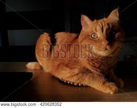Red Cat Curiously Posing And Looking Up. Young Cat With Ginger Eyes, Cute Pink Nose And Long White W