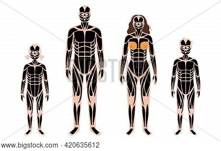 Human Muscular System Anatomical Poster. Structure Of Muscle Groups And Ligaments Of Adult And Child