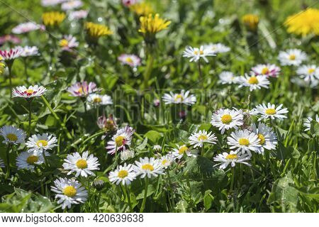 Flowering Daisy (common Daisy, Lawn Daisy) Flowers On Meadow. Wildflowers (bellis Perennis) With Wat