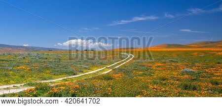Curving Desert Dirt Road Through Field Of California Golden Poppies In The High Desert Of Southern C