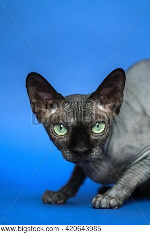 Canadian Sphynx - Breed Of Cat Known For Its Lack Of Fur. Close-up Portrait Of Pretty Hairless Femal