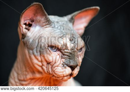 Portrait Of Canadian Sphynx Cat - Breed Of Cat Known For Its Lack Of Fur. Hairless Smart Cat On Blac