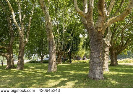 Koblenz, Germany - July 07, 2018: Trees In The Park Near Of The Basilica Of St. Castor In The City O