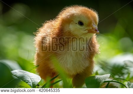 Closeup Of Rhode Island Red Chick In Green Foliage.