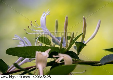 Japanese Honeysuckle Blooming During Spring. Raleigh, North Carolina.