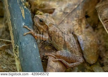 Spring Peeper (pseudacris Crucifer) On The Forest Floor. Raleigh, North Carolina.