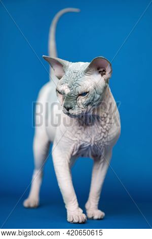 Portrait Of Canadian Sphynx Cat - Breed Of Cat Known For Its Lack Of Fur. Hairless Male Cat Standing