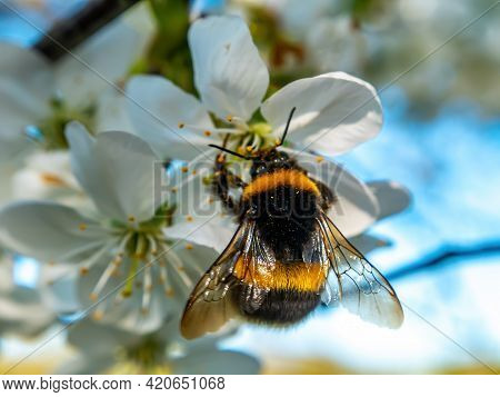 Bumblebee Insect On White Blooming Cherry Blossom. Bumblebee Insect. The Family Of Bees. Blossoming