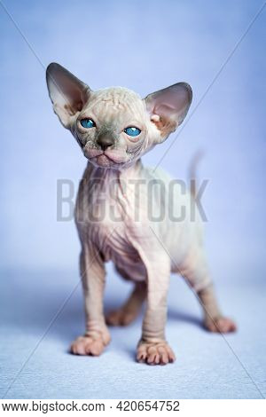 Lovely Hairless Kitten Of Canadian Sphynx Cat Breed Standing On Blue Background And Looking At Camer