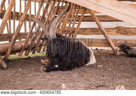 Domesticated Goats At A Farm Mini Zoo. A Portrait Of A Domestic Farm Animal.