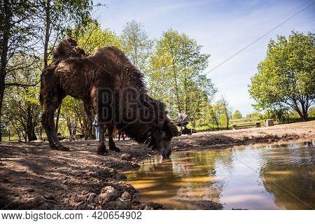 A Domesticated Camel In A Farm Mini Zoo. Domestic Farm Animal Portrait.