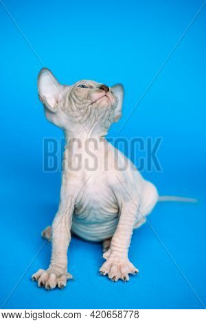 Adorable Hairless Kitten Of Canadian Sphynx Cat Breed Playing On Blue Background, Looking Up Stretch