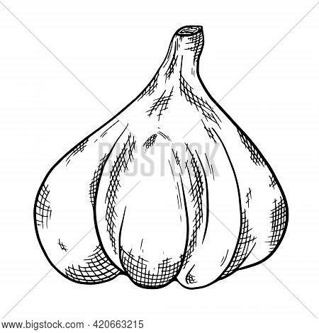 Garlic Hand Drawn Sketch. Organic Sketch Of Vegetables. Flavoring. Engraved Style Vector Illustratio