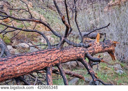Pine tree burned by recent wildfire in the Poudre Canyon west of Fort Collins, Colorado, rainy and snowy springtime scenery
