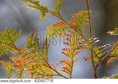 Colorful fresh conifer leaves close up shot