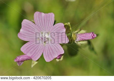 Closeup Of The Bright Pink Flower Of The Musk Mallow , Malva Moschata In The Garden