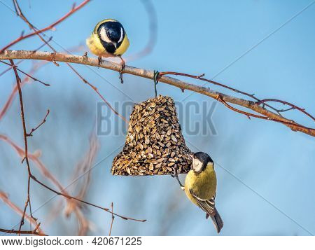 Two great tits eating seeds from sunflower seed-bell attached to tree branch