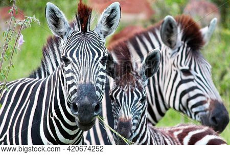 Three African Zebras. Monochrome Animal In The Savannah. Exotic Animals. For Wallpaper, Background A