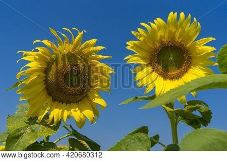 Yellow Sunflower. Landscape With Sunflowers And Blue Sky.