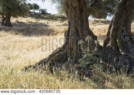 Olive Trees In A Dry Field On A Sunny Israeli Summer Day.