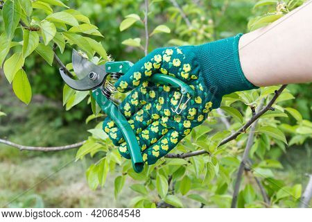 Female Farmer Looks After The Garden. Spring Pruning Of Fruit Trees. Woman In Gloves With A Pruner S