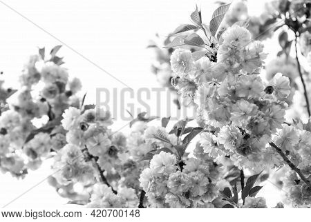 Spring Beauty. Sakura Blooming Tree., Natural Floral Background. Beautiful Spring Flowers. Pink Cher