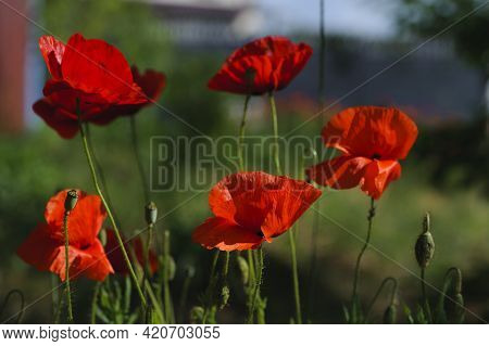 Red Poppies Papaver Rhoeas. Wildflowers Naturally Growing In The Meadow. Beautiful Delicate Red Popp