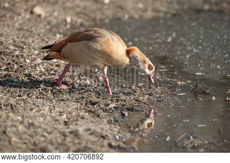 Egyptian Goose And Its Reflection At The Edge Of A Lake